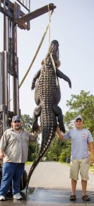 Gator tips boats and takes hunters for a ride First-time alligator hunter lands 13-foot, 900-lb. monster on the Apalachicola River