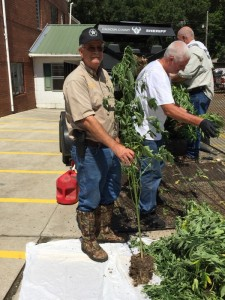 CCSO uproots 167 pot plants